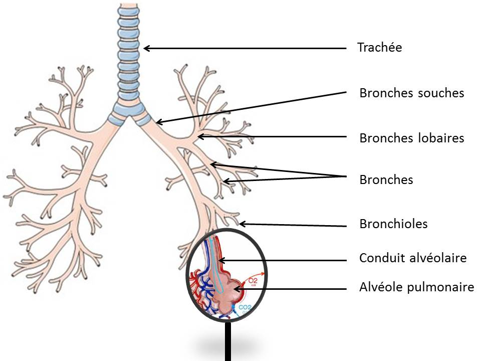 image arbre bronchique et loupe
